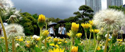 Dandelions by Ken@Yokohama